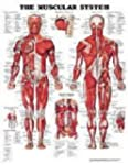 The Muscular System Anatomical Chart...