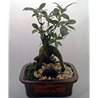 Chinese Ginseng Bonsai Tree - Ficus - Etched Brick Pot/Exposed Roots