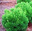 Shamrock Holly (1 foot tall in trade gallon containers) evergreen hedge