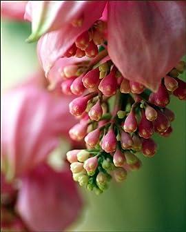 Rare Malaysian Orchid Plant - Medinilla magnifica - Exotic House Plant