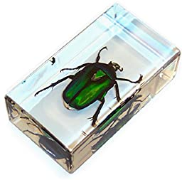 Real Insect Paperweight - Green Rose Chafer Beetle