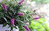 Proven Winners Lo & Behold Pink Micro Chip Butterfly Bush (Buddleia) Live Shrub, Pink Flowers, 1 Gallon