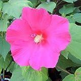 芙蓉(フヨウ)赤花の苗