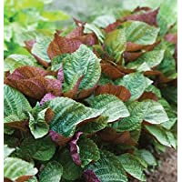 Herb Shiso Britton D2943A (Green Red) 200 Seeds by David's Garden Seeds