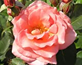 Rosa Leaping Salmon 'Peamight' (Rose Leaping Salmon) 4.5l or 6l rose pot