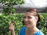 Miracle Fruit Berries - Pack of 20