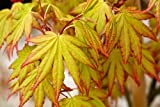 Acer palmatum 'Orange Dream' (Japanese maple 'Orange Dream') 10 ltr pot