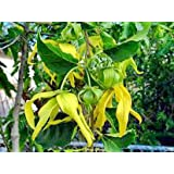 V-E-R-Y RARE~Exotic~YLANG YLANG Tree~(Joy Perfume)~Houseplant~1 Seed ONLY