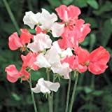 Suttons Seeds 134613 St George Sweet Pea Seed