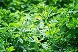 Alfalfa lucerne Green manure seed MeadowMania 100 grams net