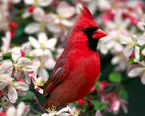 Red Cardinal / BIRD 8 x 10 GLOSSY Photo Picture (Cardinal Bird Pictures compare prices)