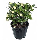 White Blush Crown of Thorns - RARE - Euphorbia - 6