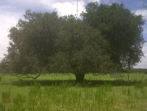 Live Oak Tree ~Shade tree~ Rapid Growth Rate