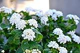 コバノランタナ/可愛らしい花が咲き育てやすい常緑花木