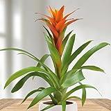 Bromelia Guzmania Orange - 1 plant