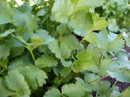 【家庭菜園におすすめ】有機種子 コリアンダー