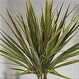 Standard Dracaena Bicolor P11 - 1 plant
