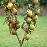 Duo Fruit Pear Tree