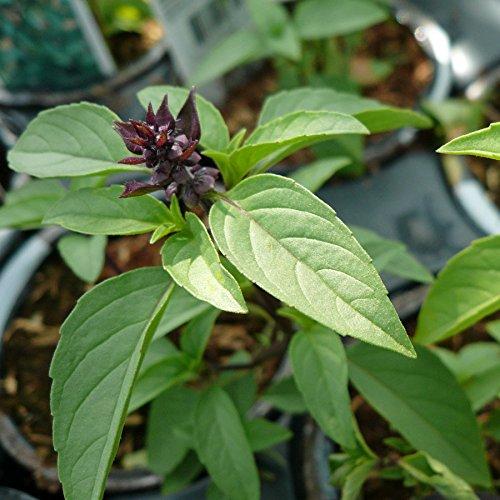 basilico-liquirizia-o-anice-200-semi-persiano-liquerizia-pianta-erba-aromatica