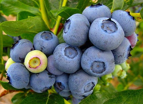 Duke Blueberry Plant - Early Ripening - 4