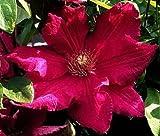 Amazon / Hirt's Gardens: Clematis Ernest Markham Vine - Magenta - Red - 2.5 Pot