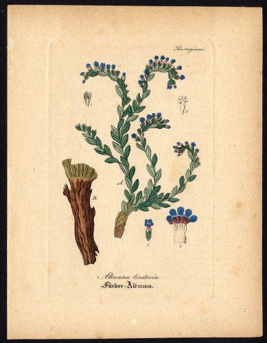 diseno-de-madera-envejecida-botanical-arma-de-juguete-alkanet-tintoreros-bugloss-alkanna-artus-kirch