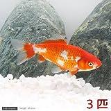(国産金魚)更紗和金 三つ尾~四つ尾(3匹) 本州・四国限定[生体]
