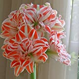 Hippeastrum Amaryllis Dancing Queen - 1 bulbe de fleur