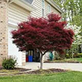 Bloodgood Japanese Maple- Large, Grafted Japanese Maples in Large- Avoid Seed Grown Bloodgood Japanese Maples