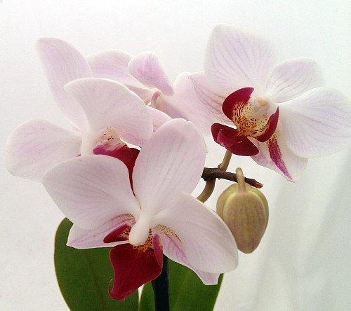 'Little Gem Stripe' Miniature Phalaenopsis Orchid Plant - 2