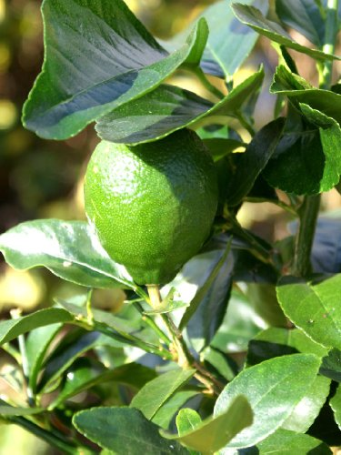 lime-tree-citrus-latifolia-tahiti-lime