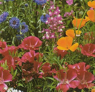 Buy Wildflower Seeds – 1000+ Partial Shade – FREE SHIPPING ON ADDITIONAL HIRTS SEEDS