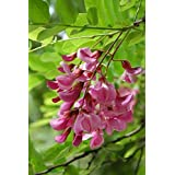 Indigofera Tinctoria - True Indigo - Rare Tropical Plant Seeds (10)