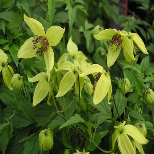 clematis-golden-harvest-ideal-golden-wedding-anniversary50th-wedding-anniversary-gifts