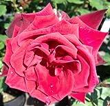 Deep Secret Hybrid Tea Bush Rose - BARE ROOT Rosa - Gift Present
