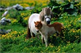 Poster 60 x 40 cm: Shetland Pony with Foal by David Tipling / Lonely Planet Images / Getty Images - high quality art print, new art poster