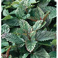 Herb Common Lemon Balm D766 (Green) 500 Seeds by David's Garden Seeds