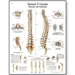 3B Scientific Spinal Column Chart Pap...