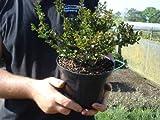 Grasslands Cotoneaster horizantalis 2 litre 15-25cm