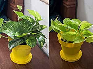 Rolling nature money plant and golden pothos air purifying for Buy air purifying plants