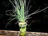 家庭用 ハーブの水耕栽培キット「窓際族」(窓辺でチャイブ)