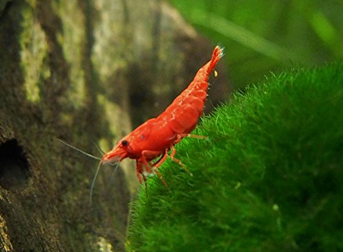 Top 5 Best freshwater shrimp live for sale 2016 | BOOMSbeat