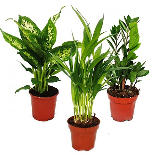 Areca palme storeamore for Shop zimmerpflanzen