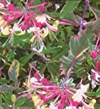 'Harlequin' Variegated Honeysuckle Vine - Lonicera - 4