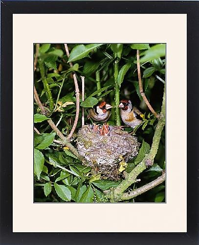 Framed Print Of Bird - Pair Of Goldfinches With Young In Nest In May front-941239