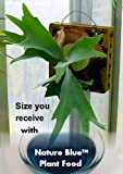 Large Reindeer Fern Mounted - Great Houseplant - With Nature BlueTM Plant Food