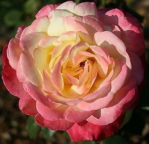 French Perfume Rose Bush Flower Seeds