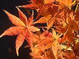 モミジ 鴫立沢 ( シギダツサワ ) ポット苗 庭木 落葉樹 シンボルツリー もみじ 苗