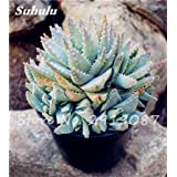 New! 20 Pcs Colorful Cactus Rebutia Variety Mix Exotic Aloe Seed Cacti Rare Cactus Office Edible Beauty Succulent Bonsai Plant 17 (Color: 17, Tamaño: Show In Picture)