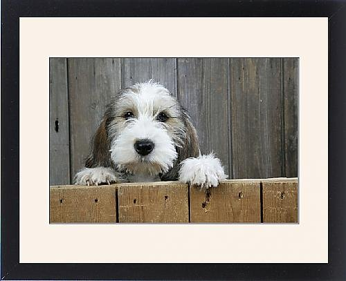 Framed Print Of Dog - Petit Basset Griffon Vendeen Puppy - 4 Months Old Looking Over Fence front-978778